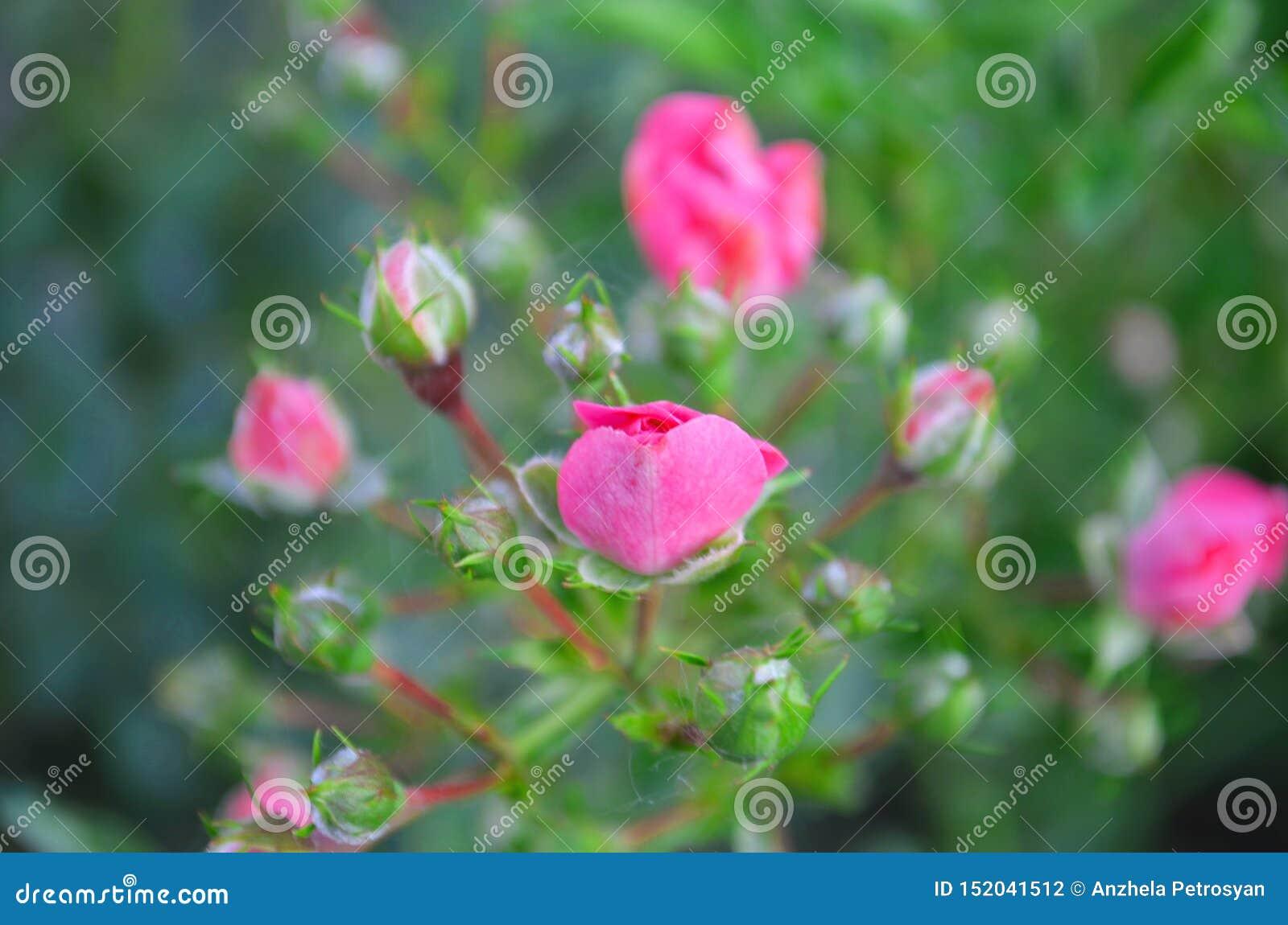 Pink rose Natur sommar