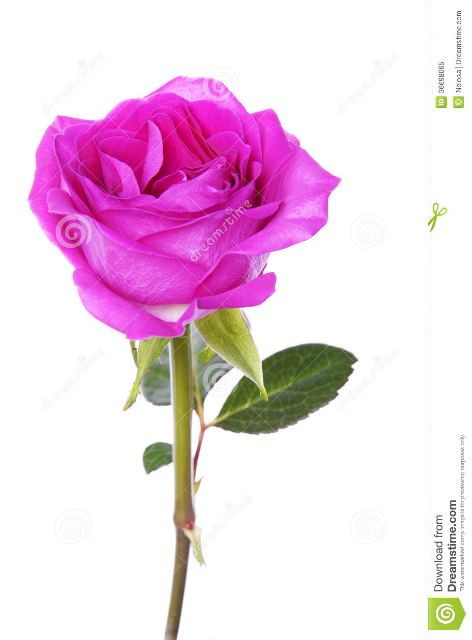 Pink Rose stock image. Image of - 87.3KB