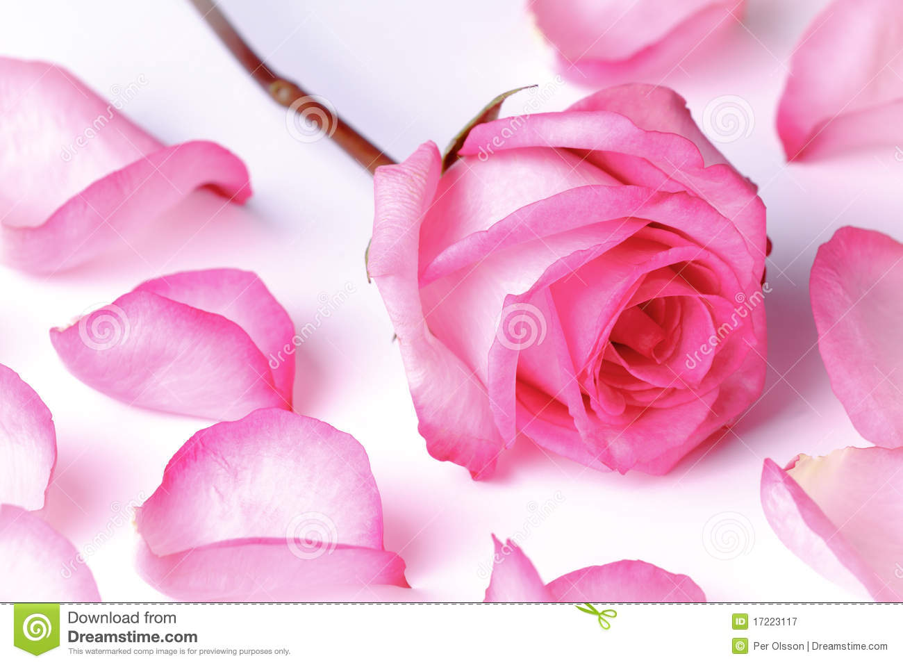 Pink Rose And Petals Stock Image Image Of Romantic Valentine