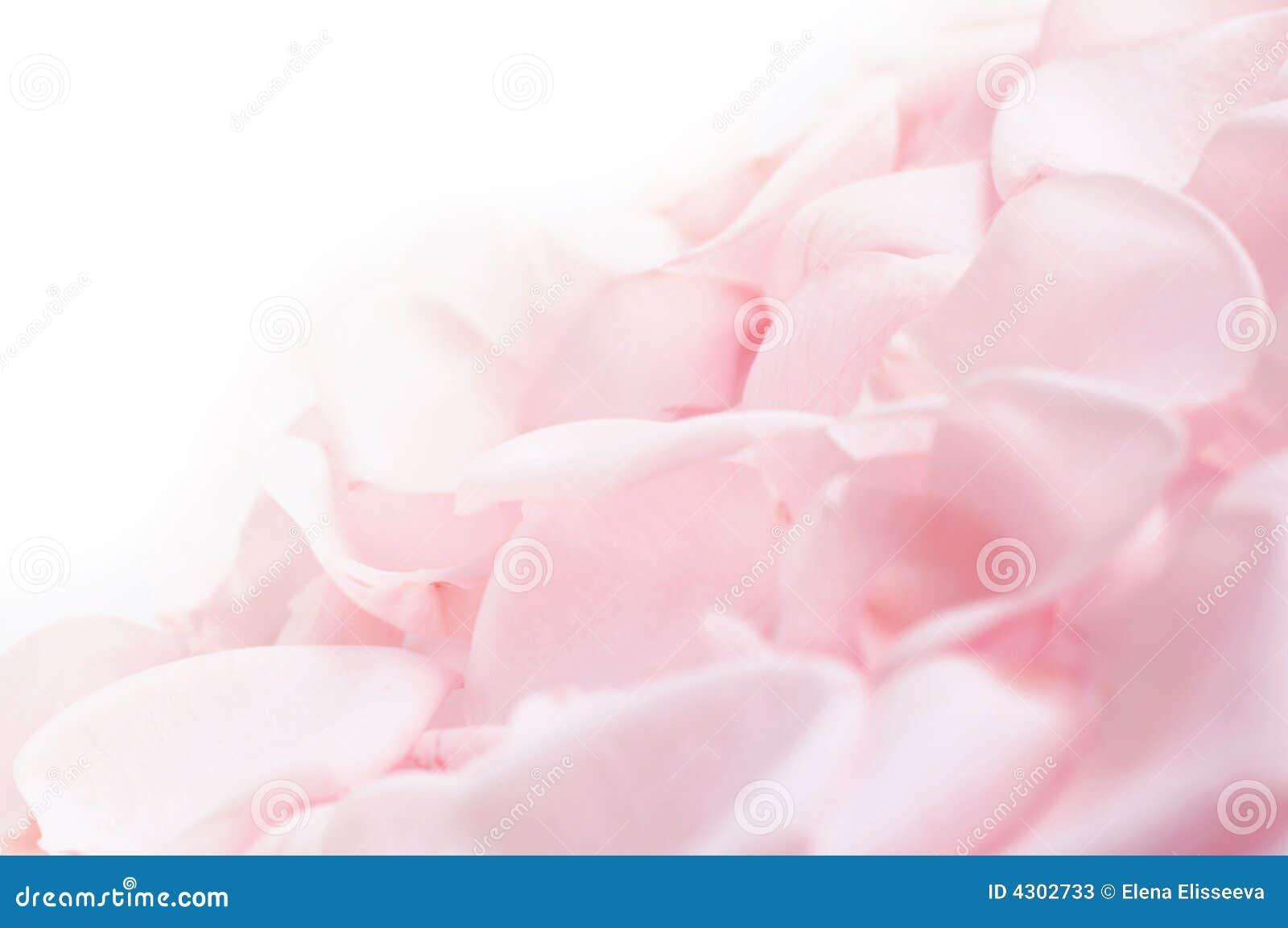 Pink Rose Petals Stock Image Image Of Petal Botanical 4302733