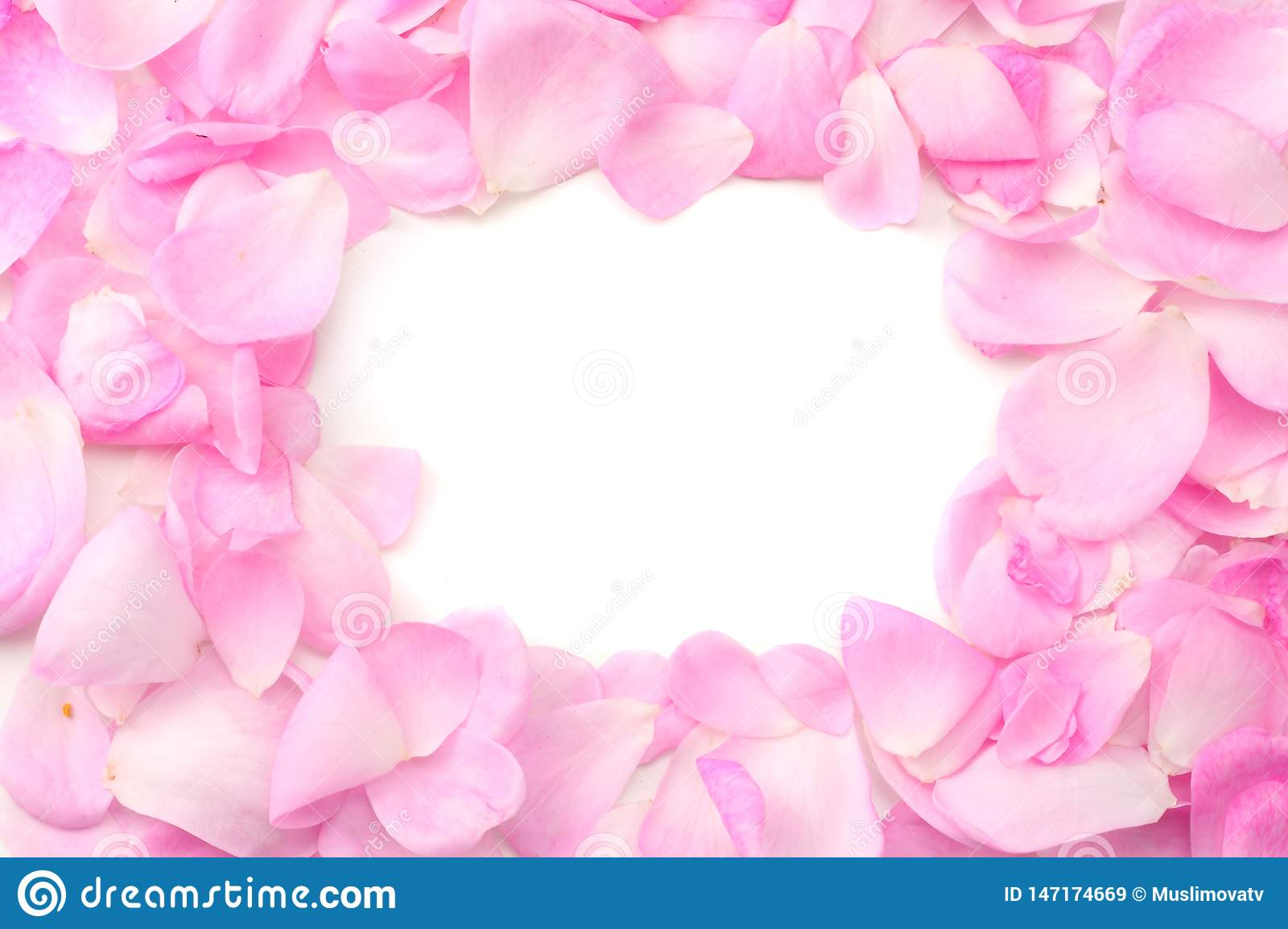 pink rose petals isolated on white background. top view