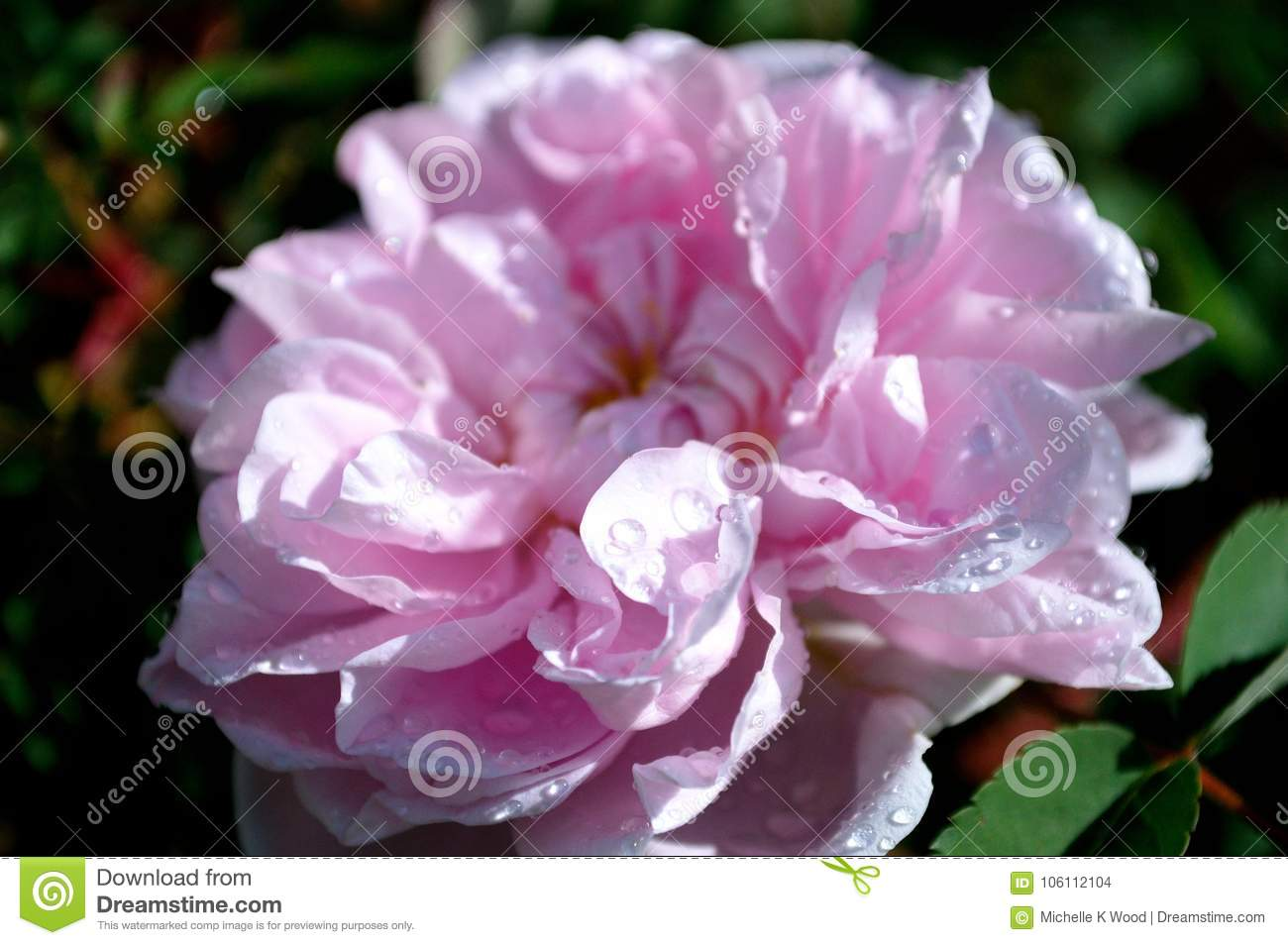 Pink Rose with Raindrops