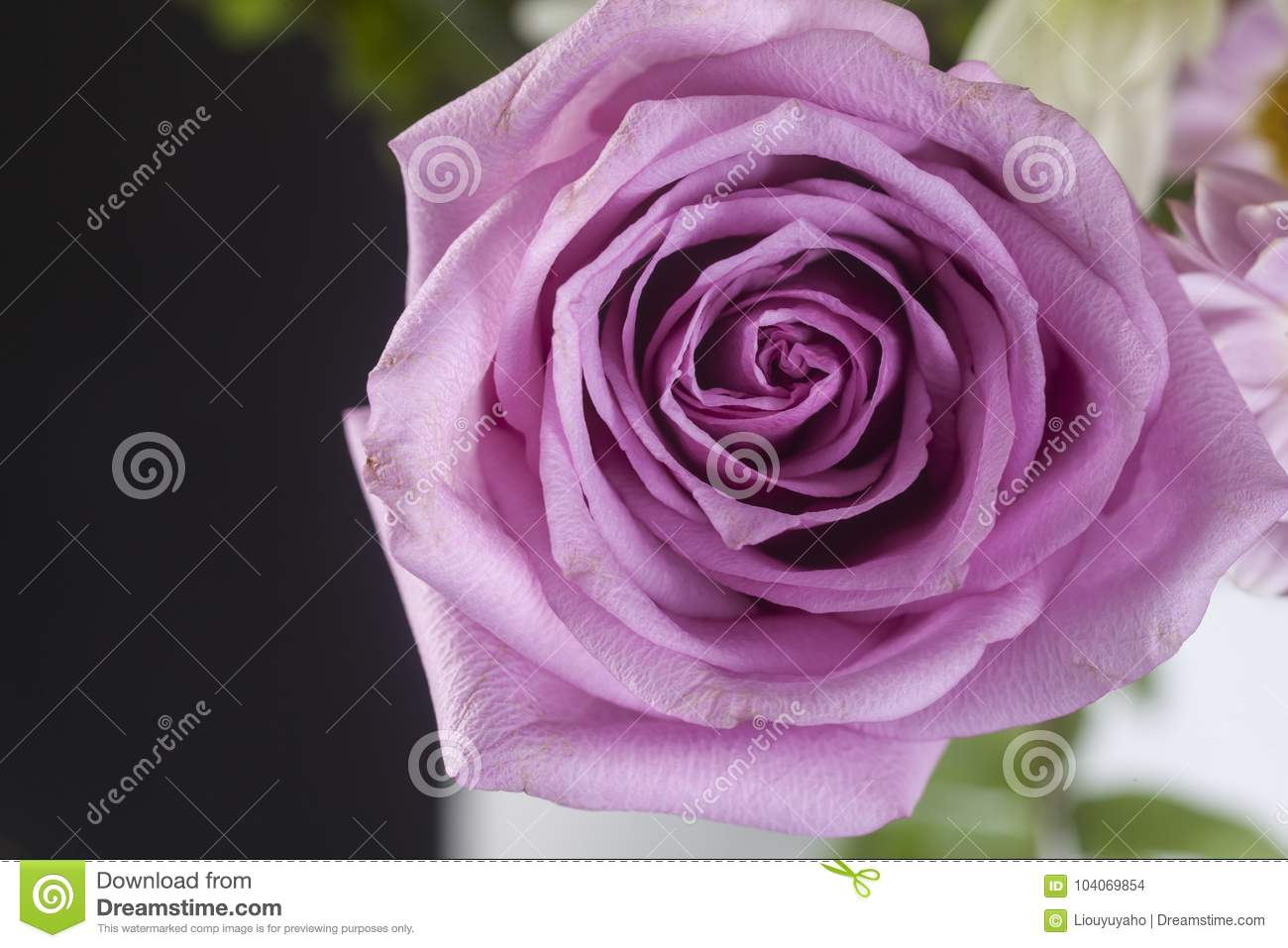 Pink Rose Stock Photo Image Of Leaves Blue Background 104069854