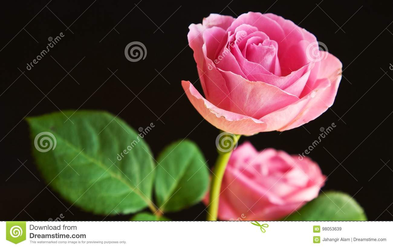 Pink Rose Stock Image Image Of World Rose Pink Beautiful 98053639