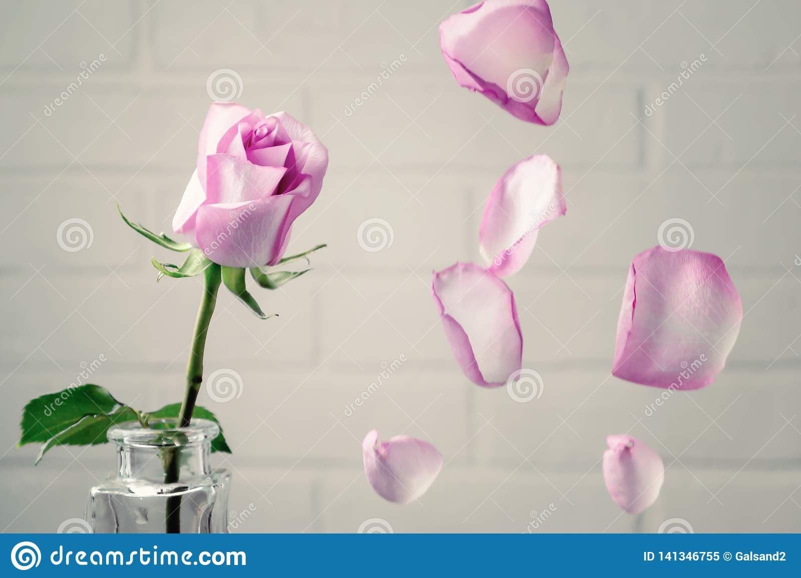Pink rose in a vase with falling petals against the background of a white wall. Tenderness, fragility, loneliness, romance concept