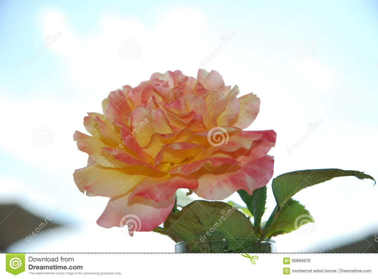 Pink Rose And Yellow Stock Photo Image Of Color Pink 90684676