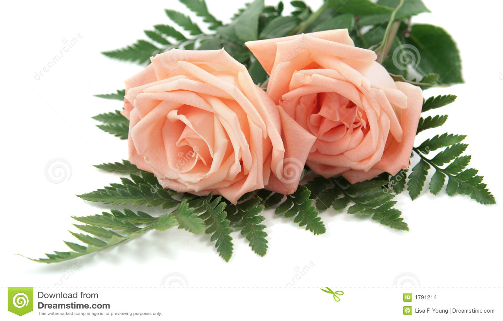 Pink Rose White Background