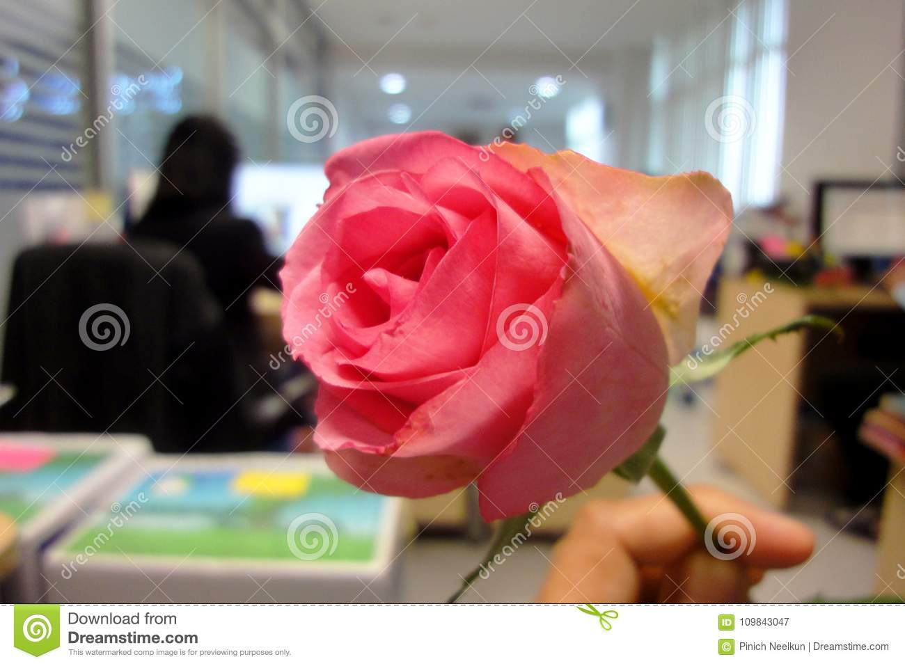 Pink Roses Dedicated To The Festival Of Love The Day Of Love Of