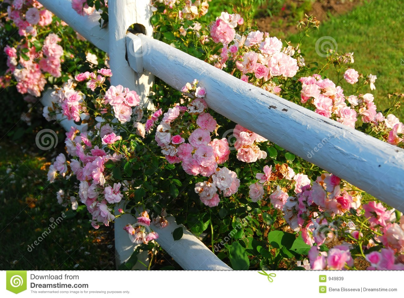 Pink roses fence