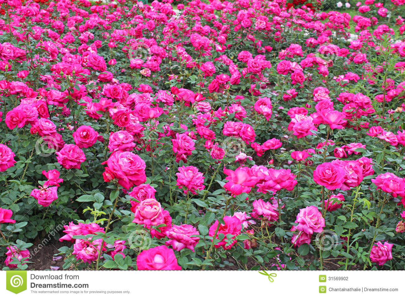 Pink Rose Garden Wallpaper