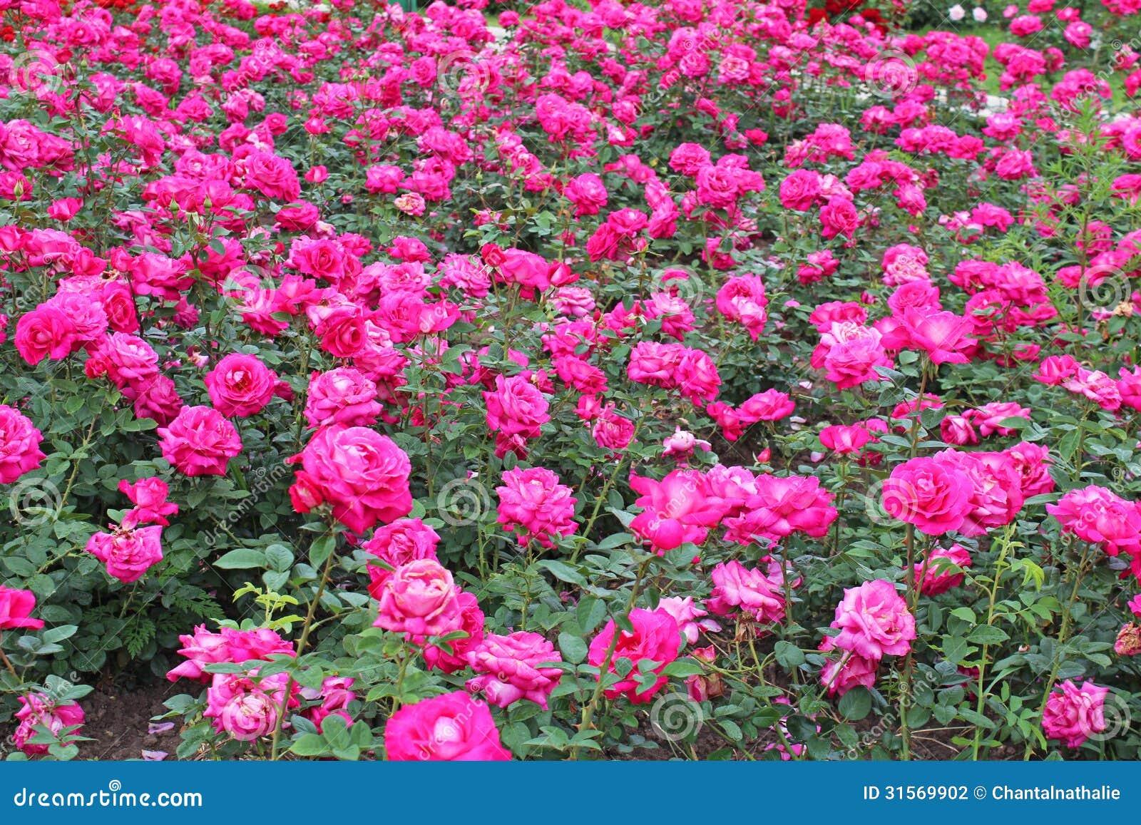 Pink roses garden stock photography image 31569902 - Pinke gardinen ...