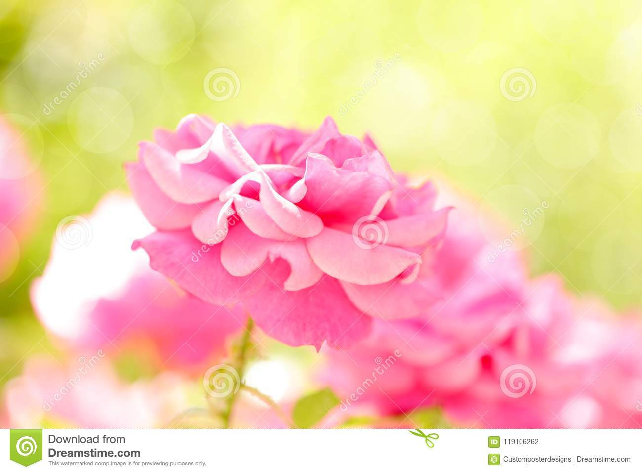Download Pink roses in the garden. stock photo. Image of bokeh - 119106262