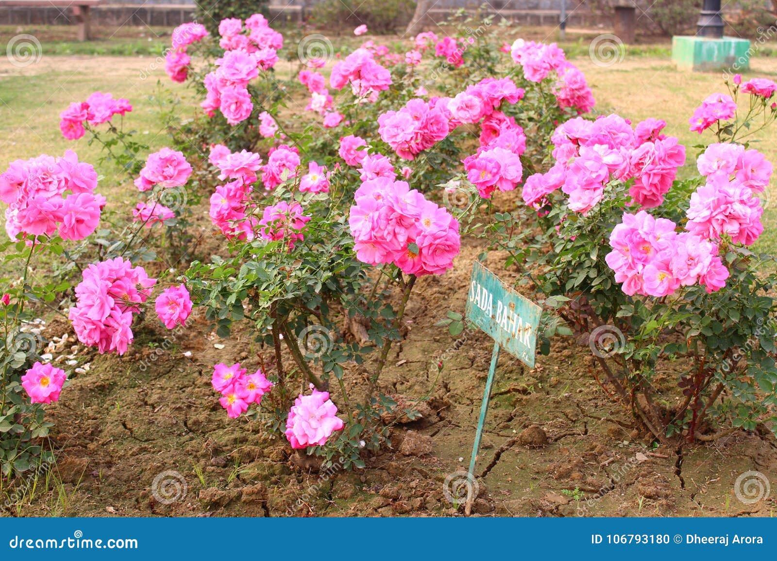 Pink Roses In National Rose Garden, New Delhi, India Stock Photo ...