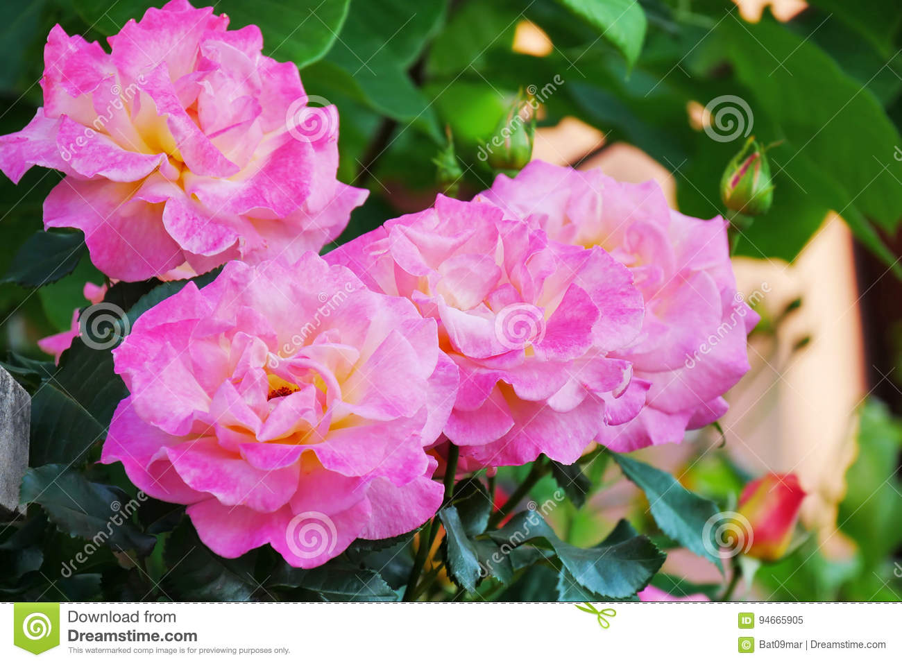 Pink Roses On Tall Rose Bush Stock Image Image Of Shrub Green