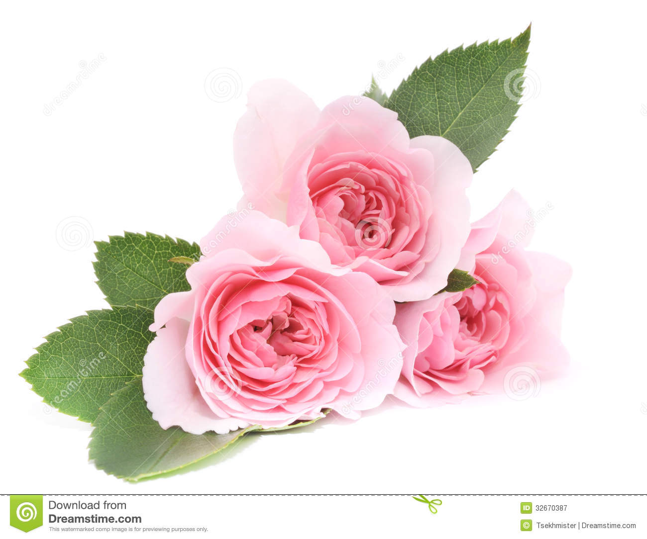 Pink Roses Stock Image Image Of Beauty Flowers Roses 32670387