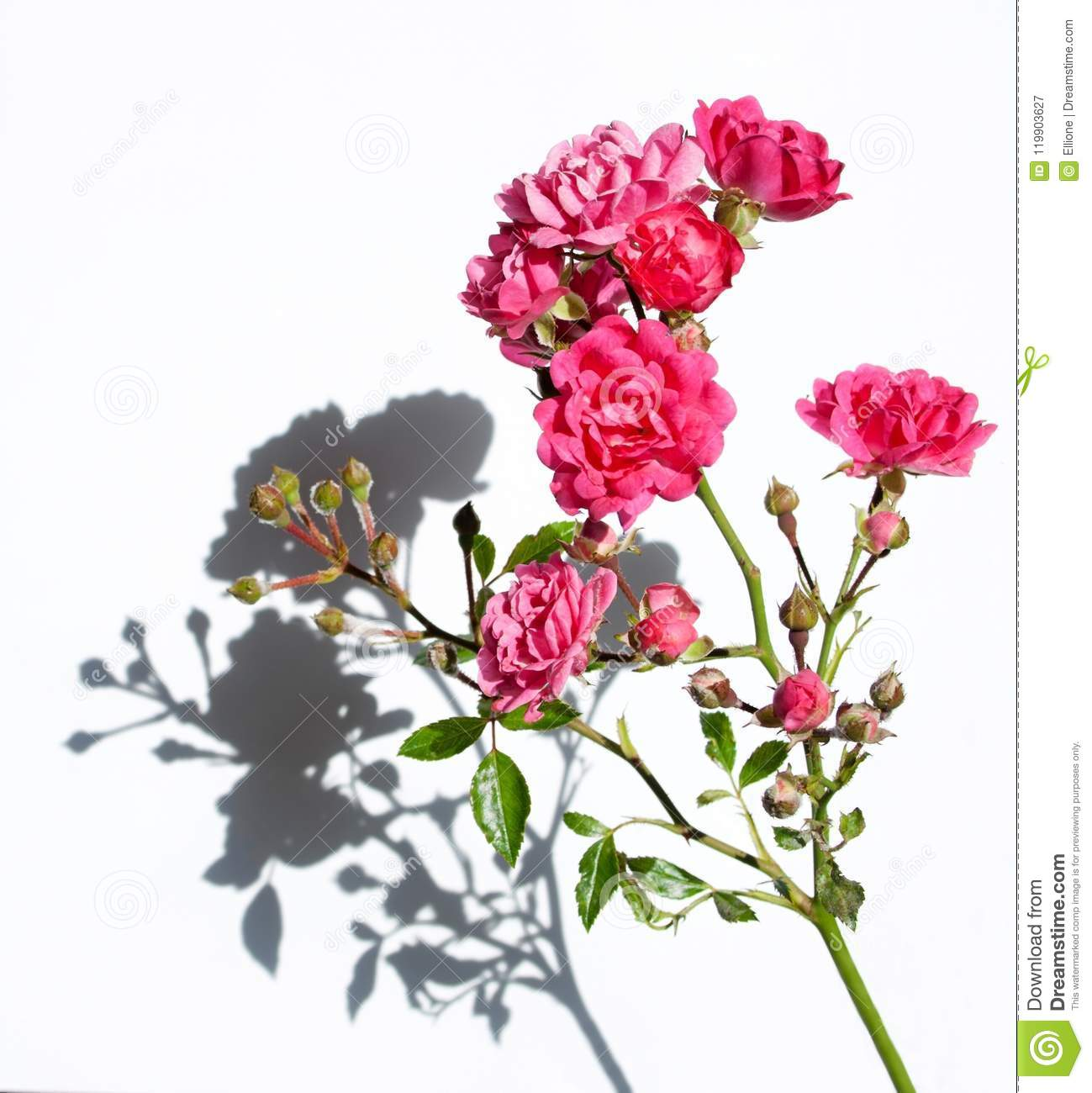 Pink Roses Stock Image Image Of Leaf Object Birthday 119903627
