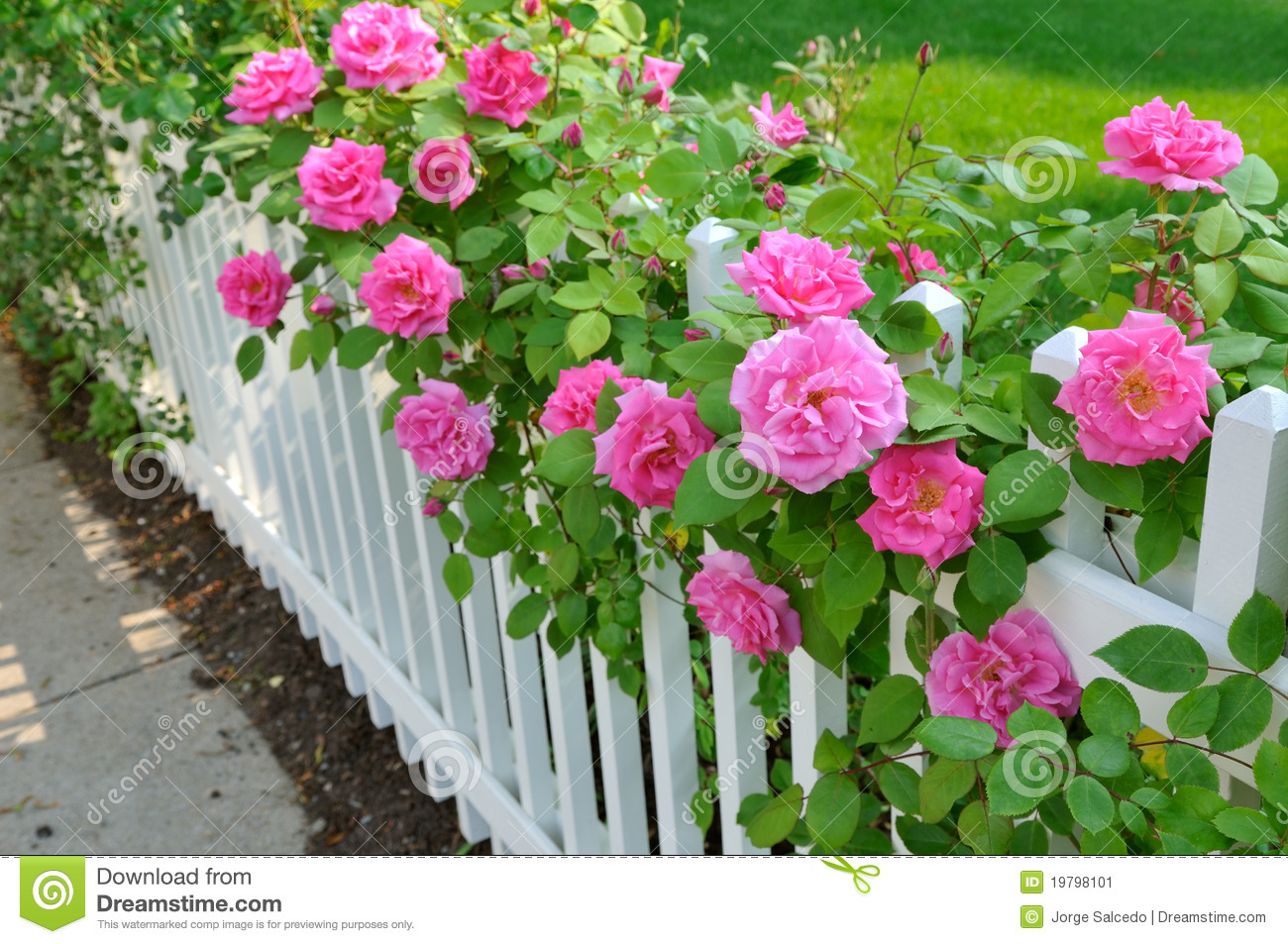 Pink Roses On White Fence Stock Image Image 19798101