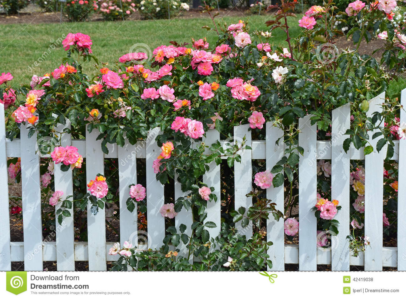 Pink Roses And White Picket Fence Stock Photo Image