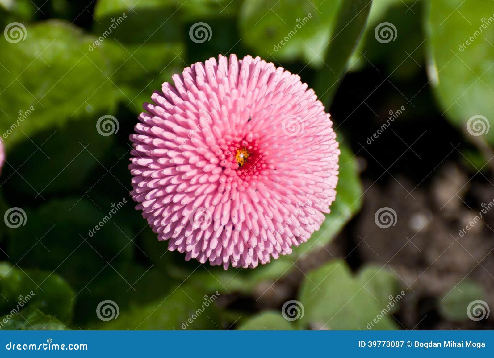 Pink round flower stock image image of garden pink 39773087 download pink round flower stock image image of garden pink 39773087 mightylinksfo
