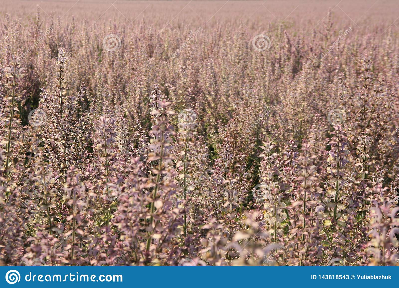 Pink sage flowers in the field summer background