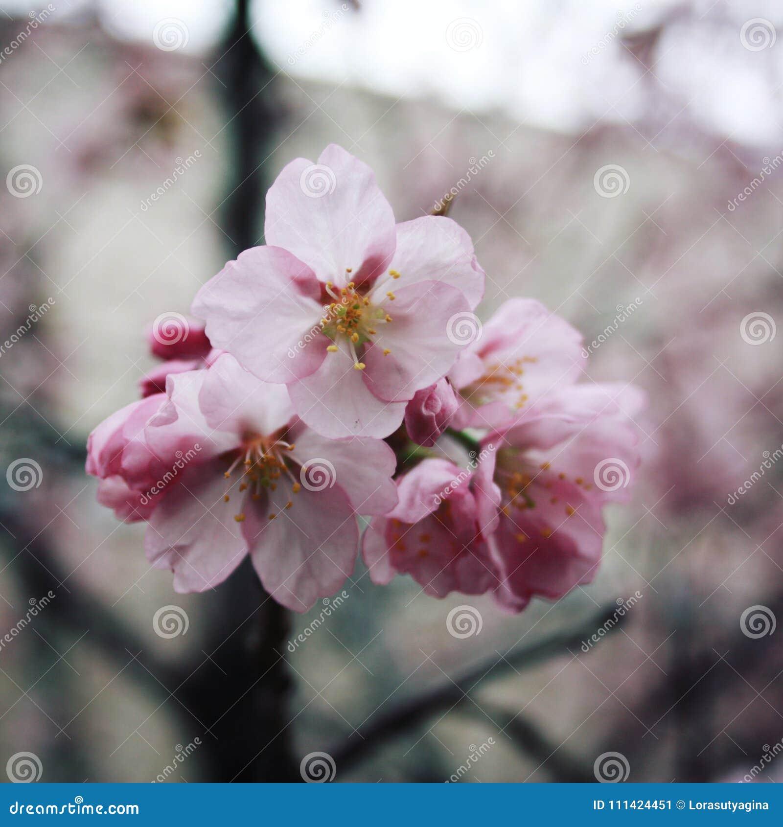 Pink Sakura Bloom Spring Season Toned Photo Stock Image Image