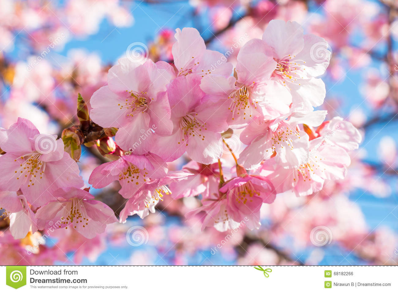 Pink sakura cherry blossom is the most beautiful flower stock royalty free stock photo izmirmasajfo