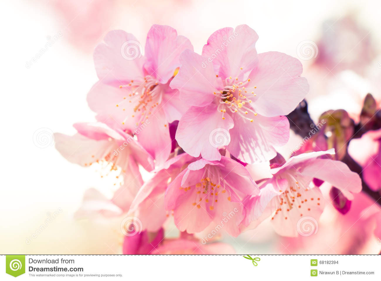 Pink Sakura Cherry Blossom Is The Most Beautiful Flower Stock