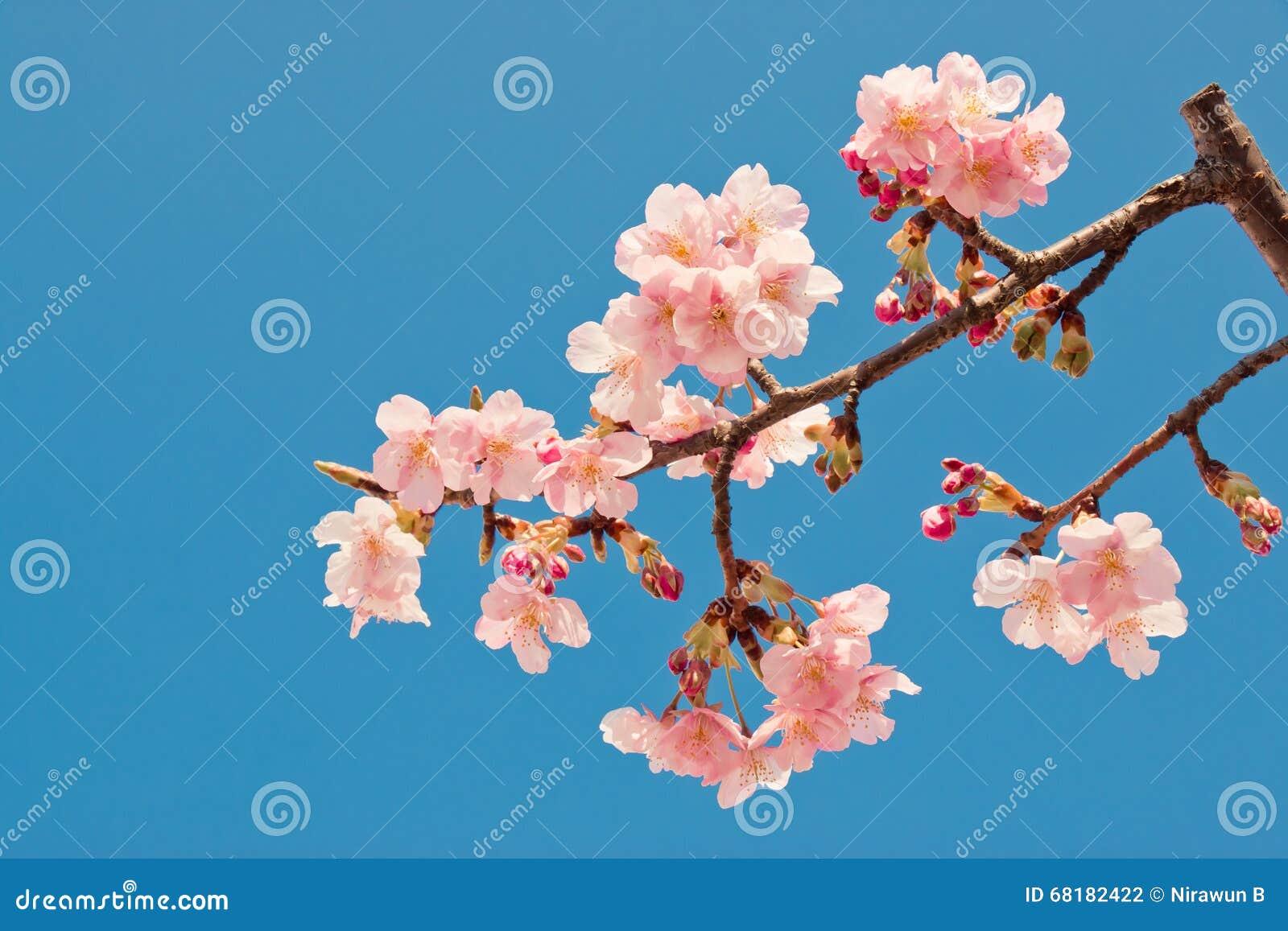 Pink sakura cherry blossom is the most beautiful flower stock royalty free stock photo izmirmasajfo Gallery