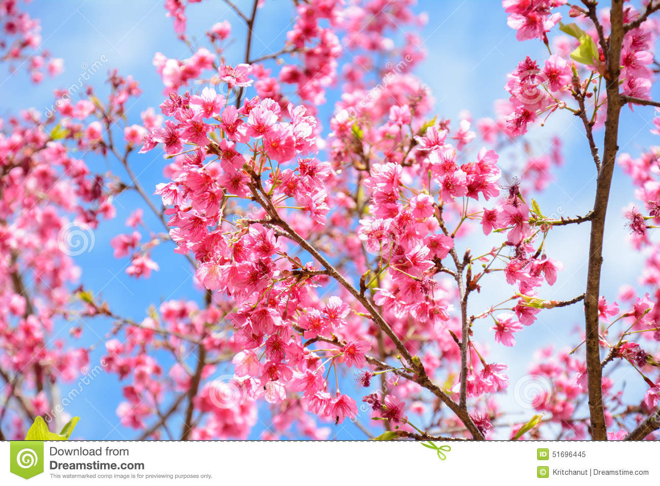 Cherry Blossom , Pink Sakura Flower Stock Photo, Picture And ...