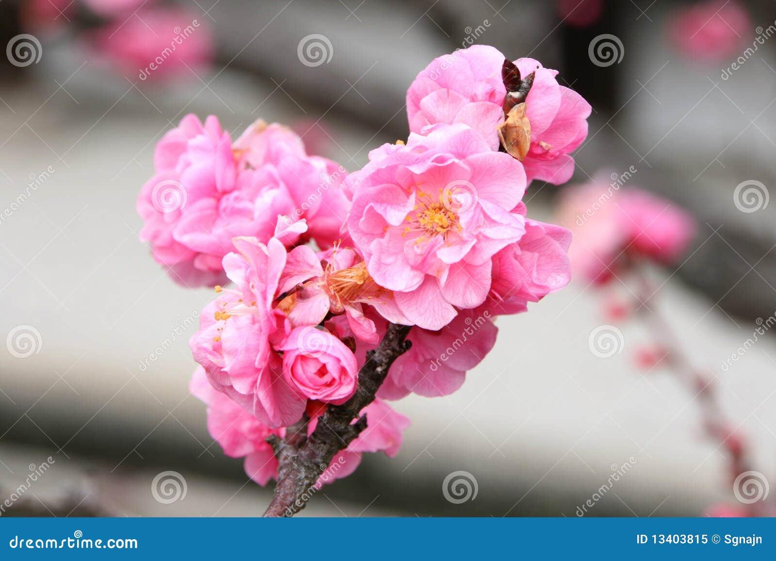 Pink sakura flowers royalty free stock photo image 13403815 branch flowers pink sakura dhlflorist Images