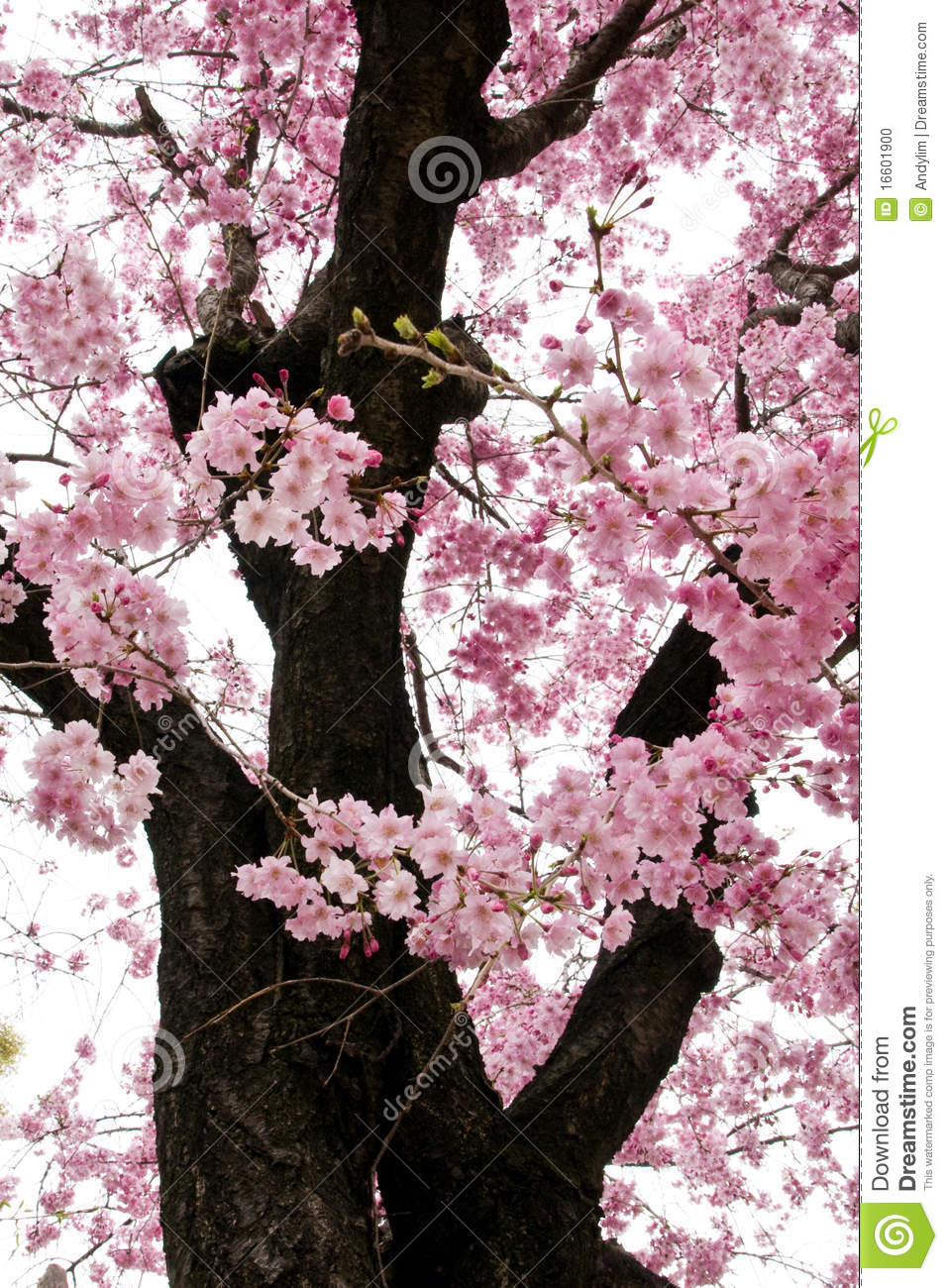 Pink Sakura Flowers In Osaka, Japan Stock Photo - Image: 16601900