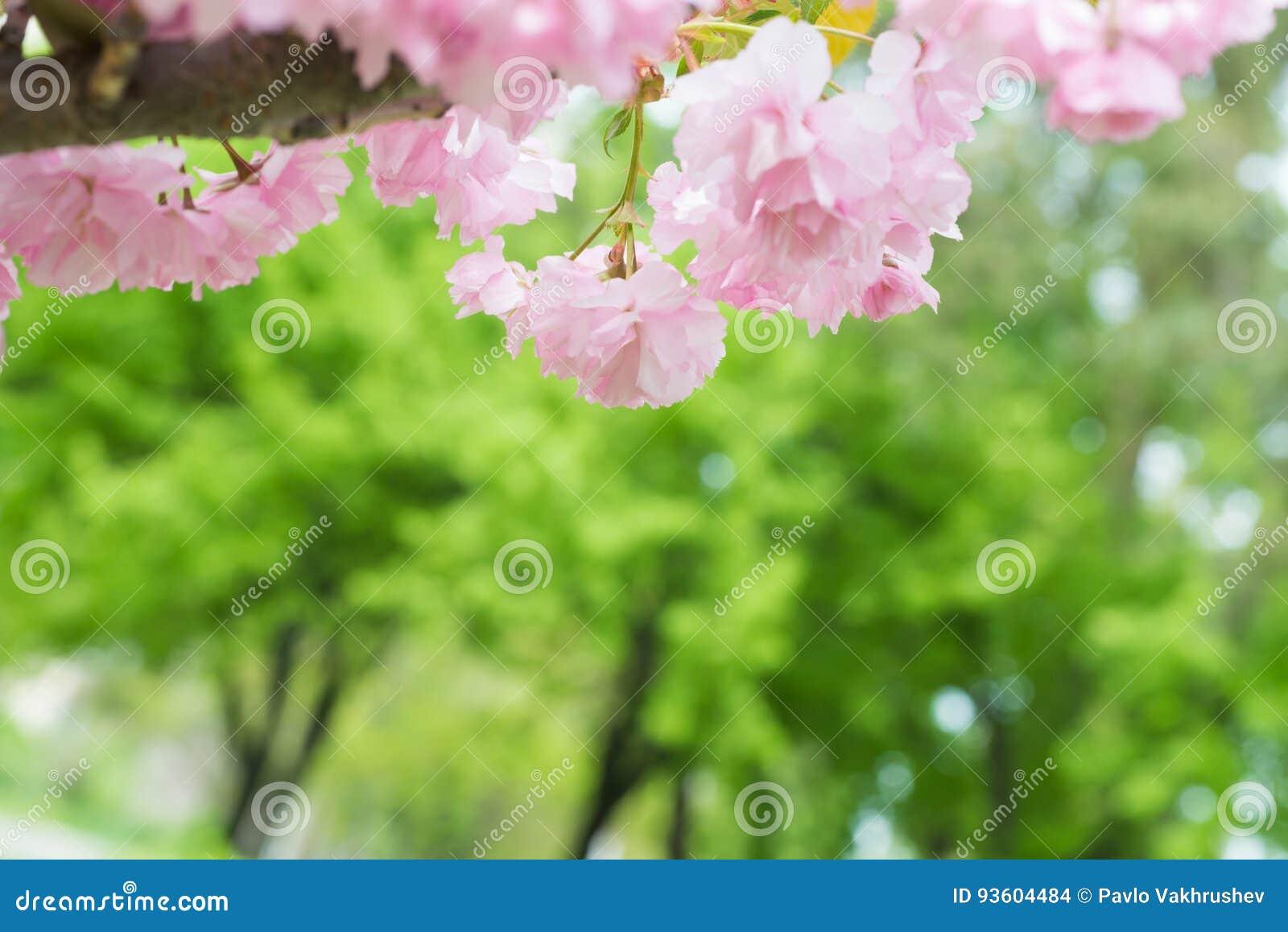 Pink sakura flowers on a spring cherry tree