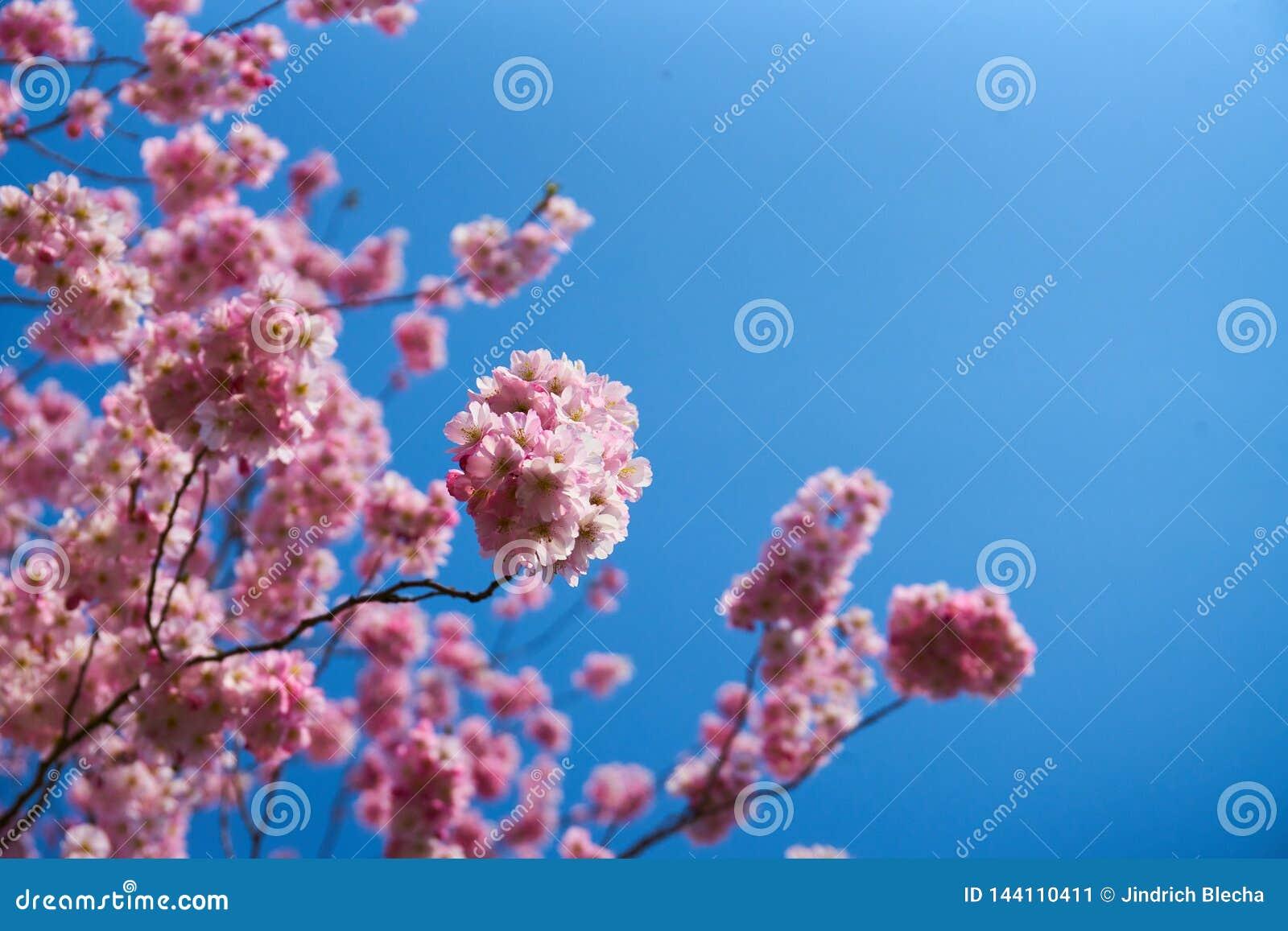 Sakura flowers in blossom