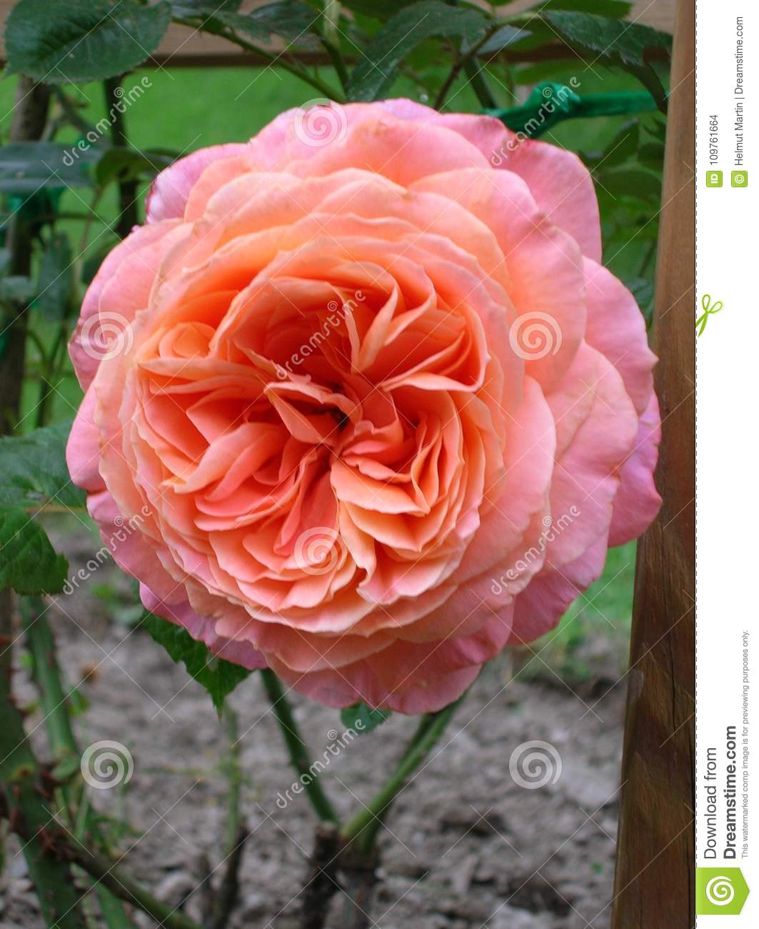 Pink And Salmon Colored Rose, Rich Petalled Stock Photo - Image of ...