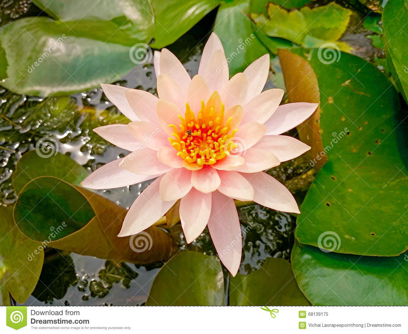Pink Shade Of White Lotus Flower And Bee Stock Image Image Of