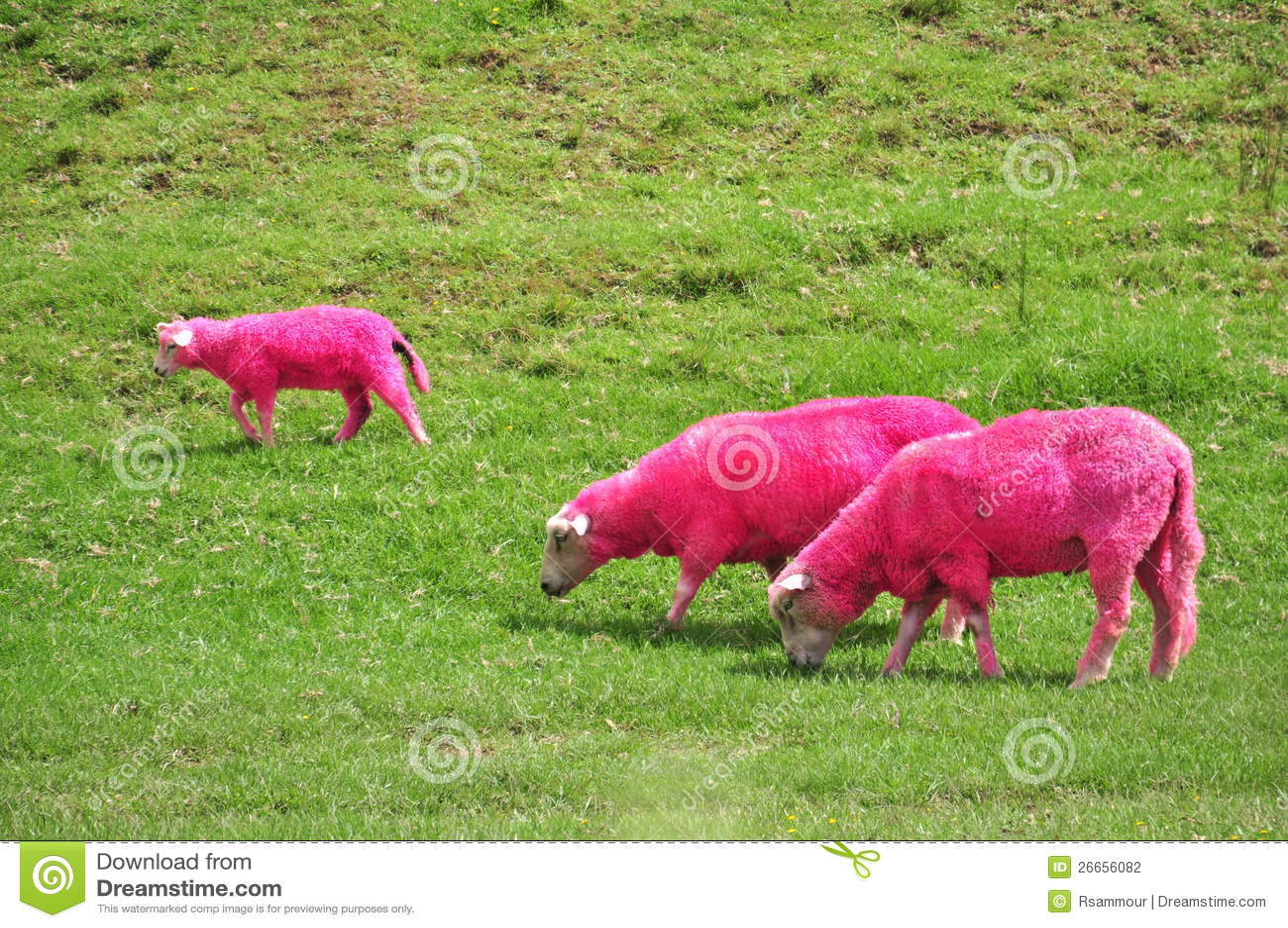 Pink Sheep Royalty Free Stock Image Image
