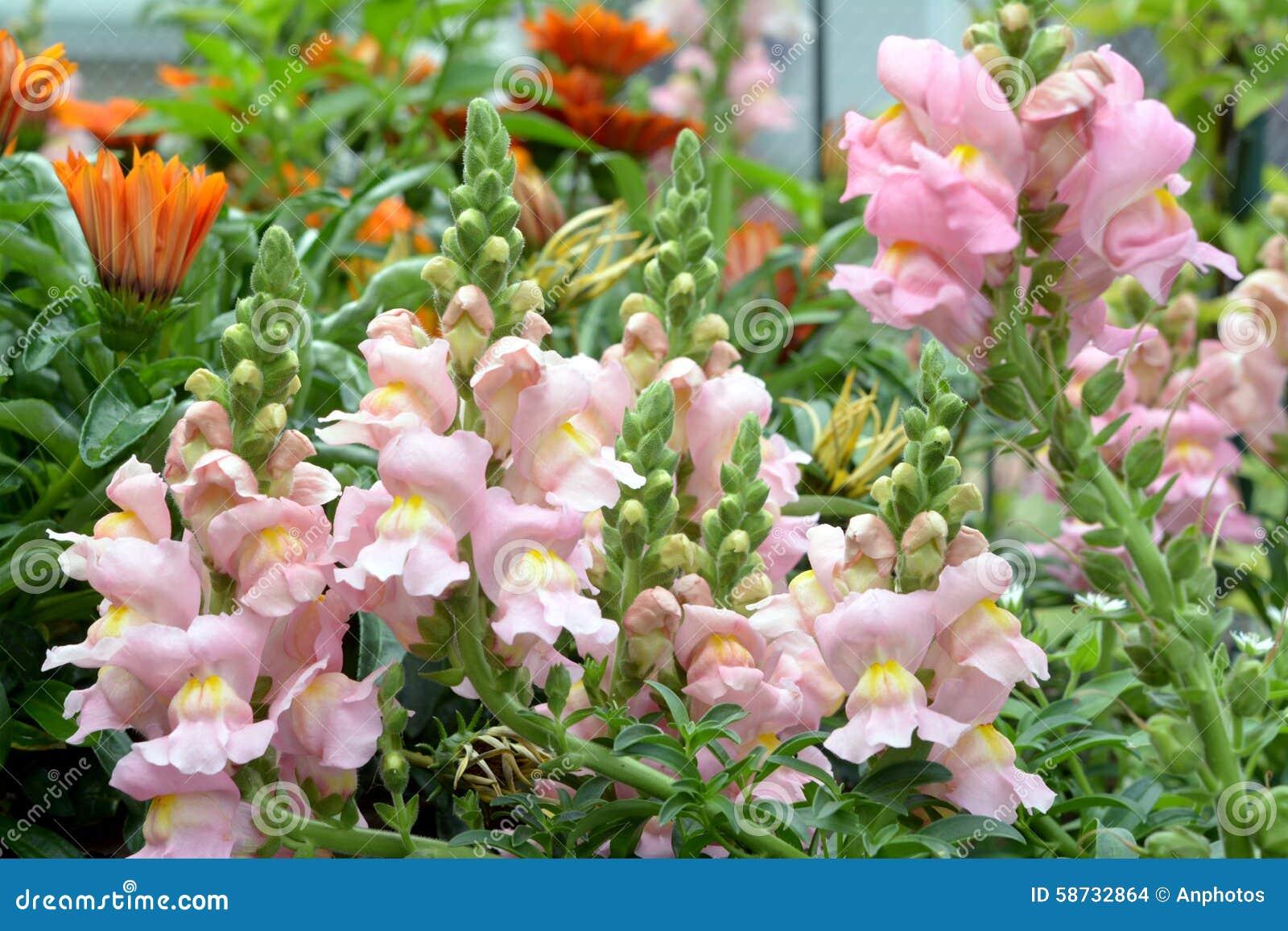 Pink Snapdragon Flower Stock Photo Image Of Dragon Flower 58732864