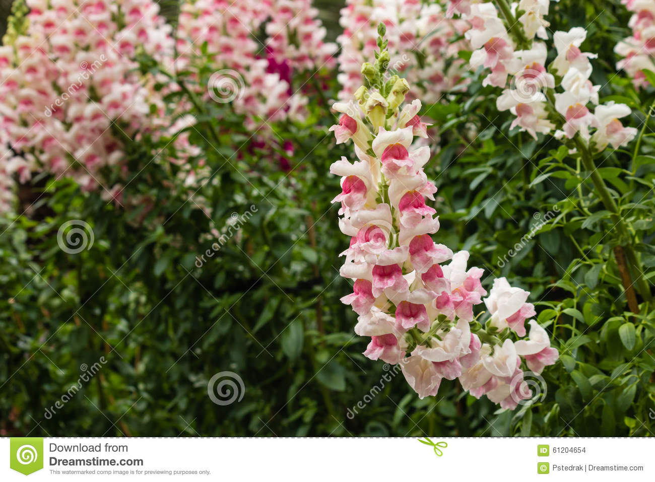 Pink Snapdragon Flowers In Bloom Stock Photo Image Of Snapdragon