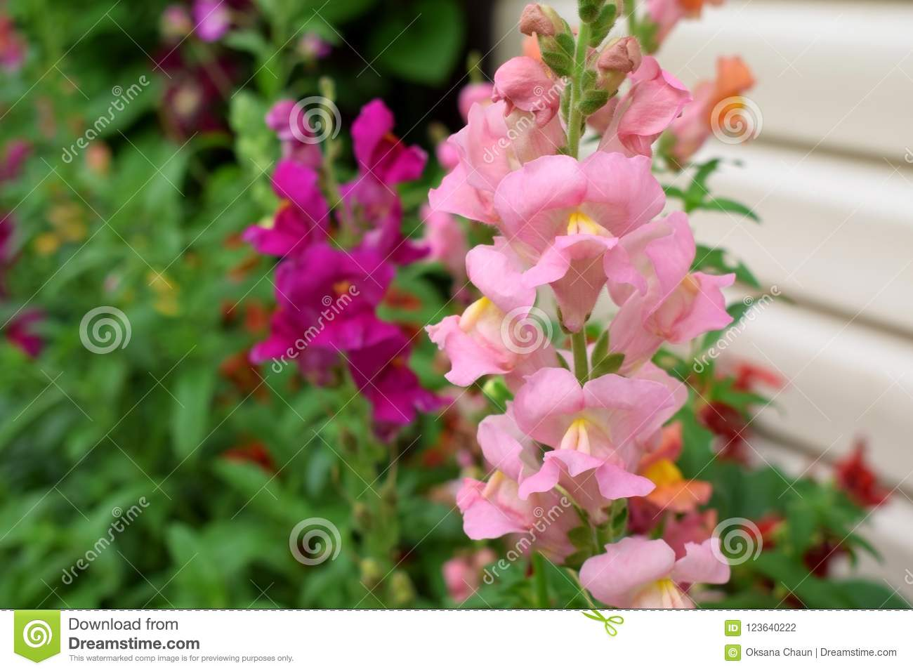 Pink Snapdragon Flowers Stock Photo Image Of Nature 123640222