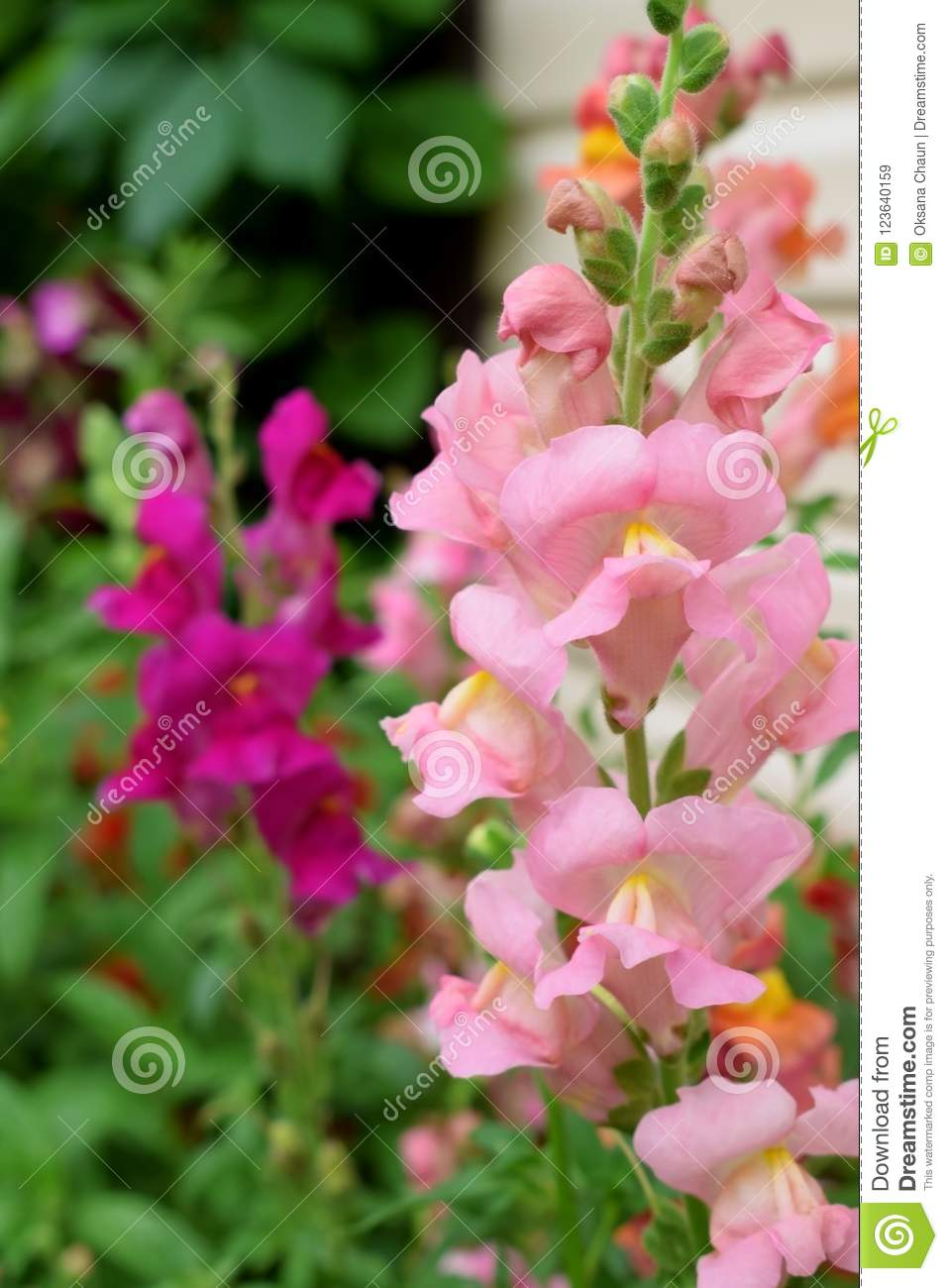 Pink Snapdragon Flowers Stock Image Image Of Pink Care 123640159