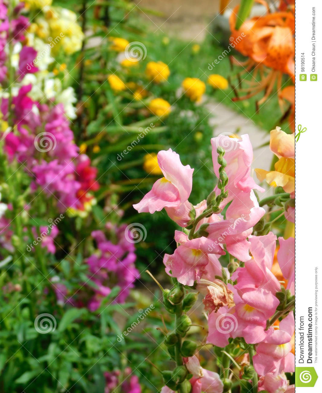 Pink Snapdragon And Many Multicoloured Flowers In The Background