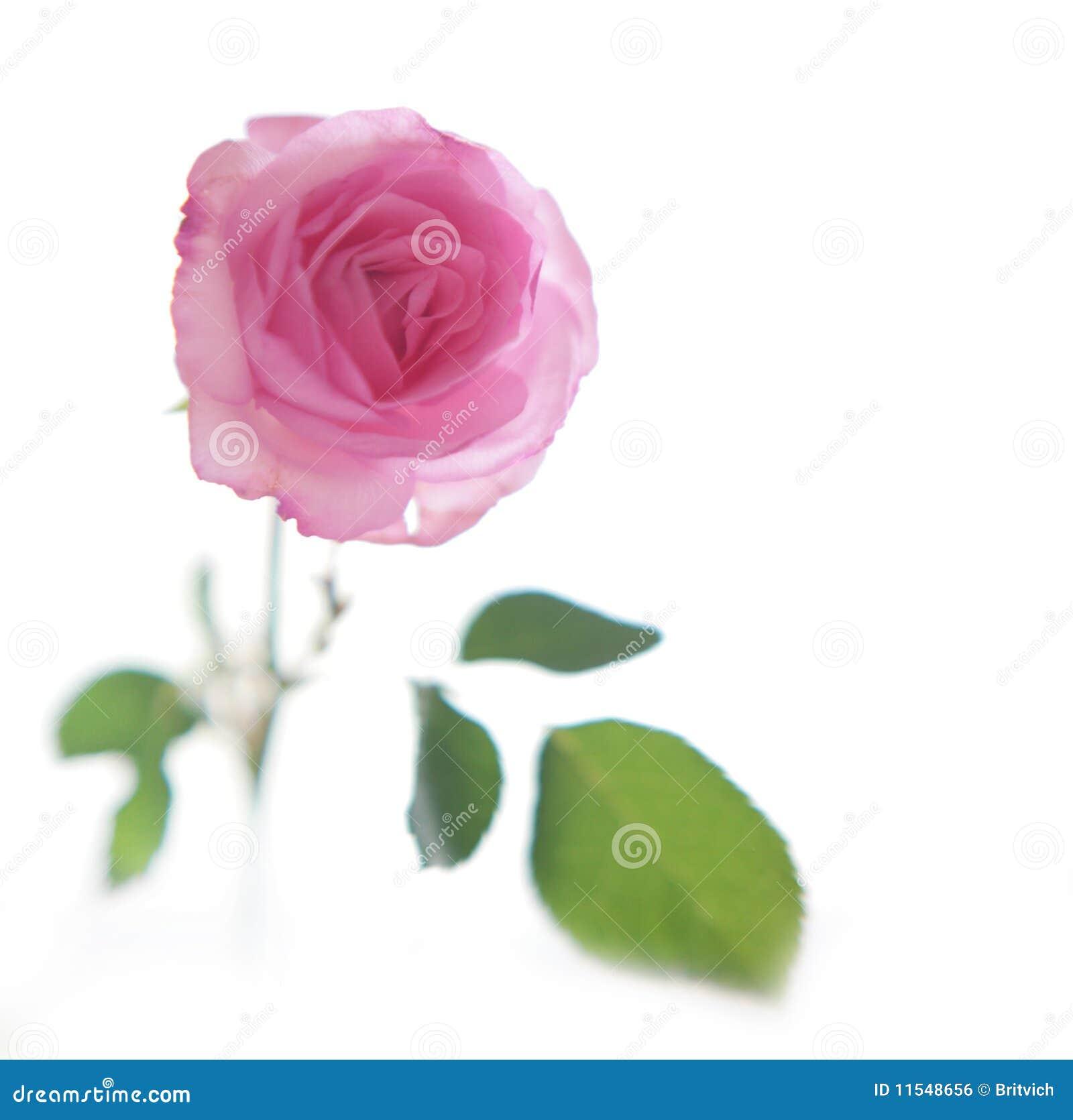 Pink soft rose