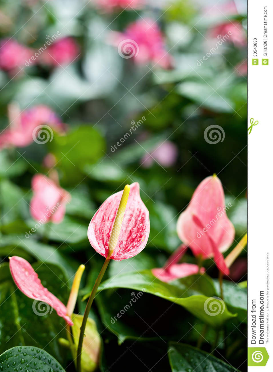 Pink Spathiphyllum Stock Photo Image Of Lily Anthurium