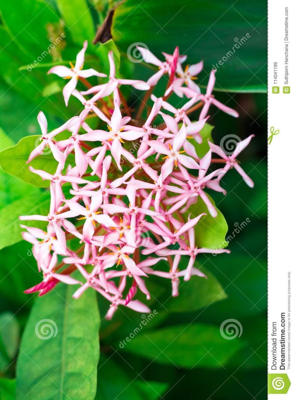 Pink Spike Flower On Backgroundfront View Stock Image Image Of