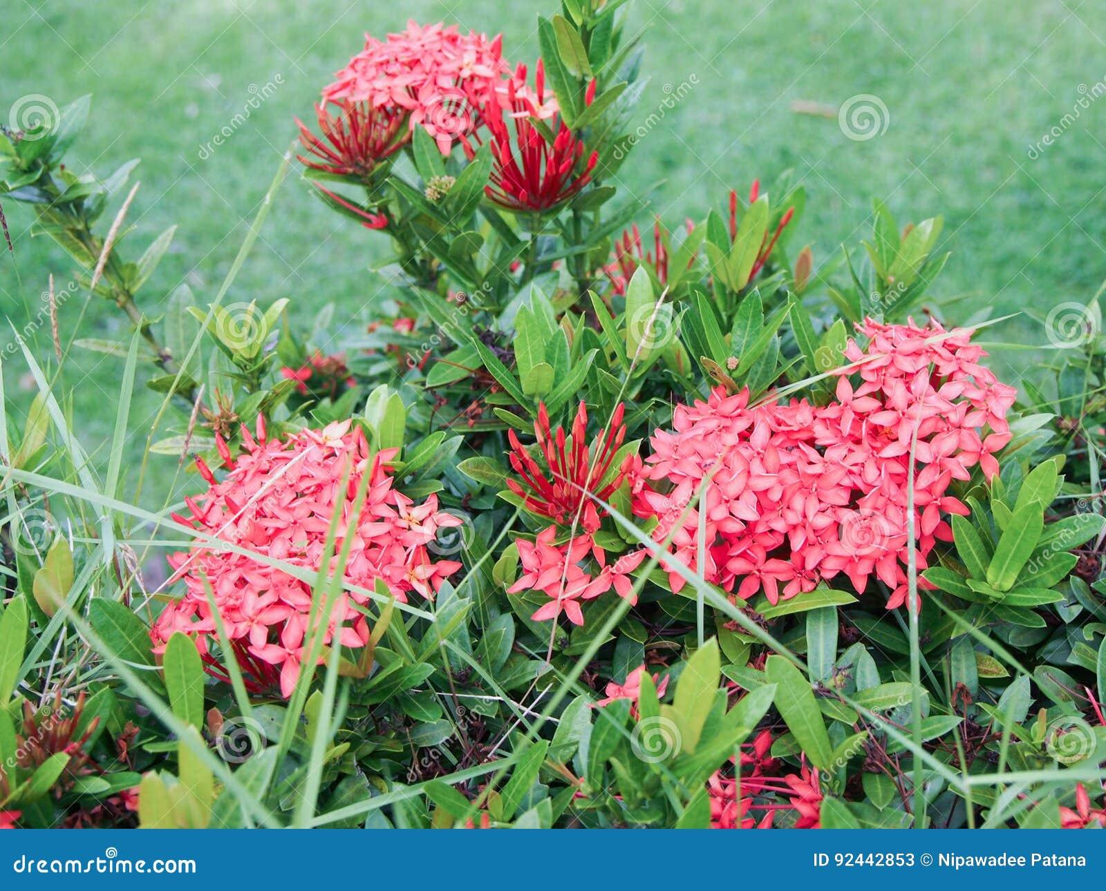 Pink Spike Flower Ixora Stock Image Image Of Background 92442853