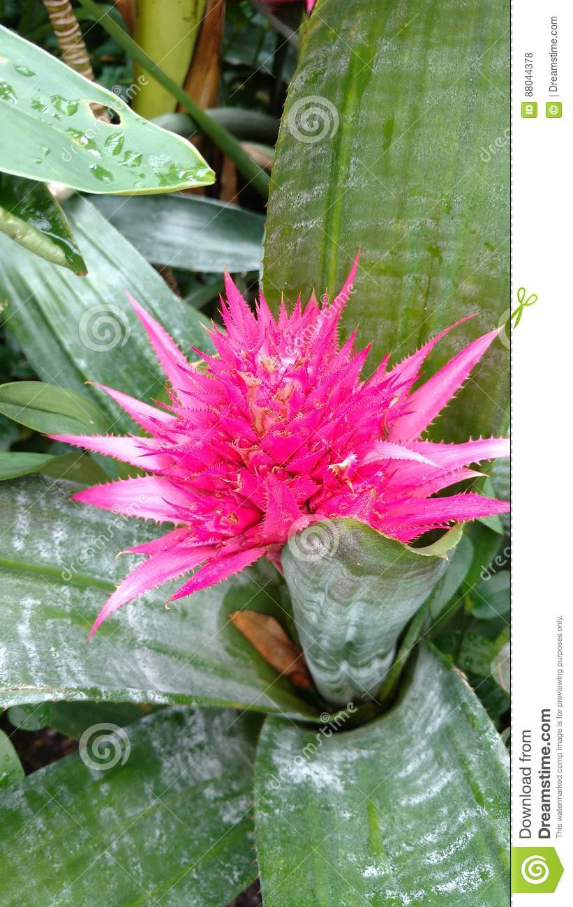 Pink Spiky Cactus Stock Photo Image Of Colour Tropical 88044378