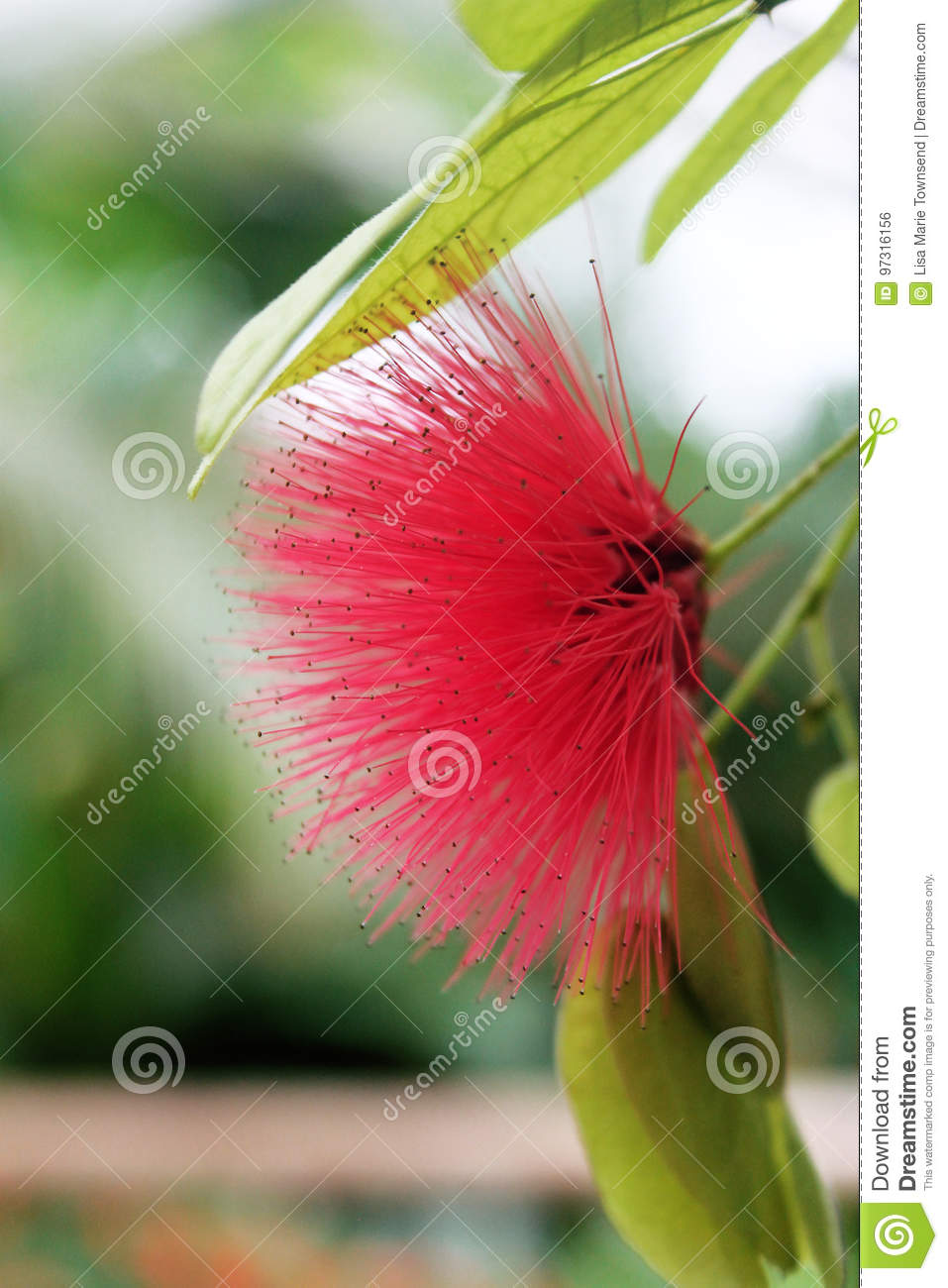 Pink Spiky Flower Stock Photo Image Of Tropical Pink 97316156