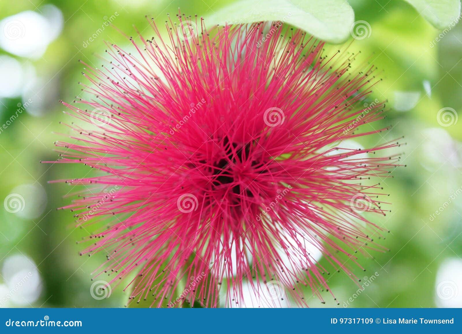 Pink Spiky Flower Stock Image Image Of Australian Petal 97317109