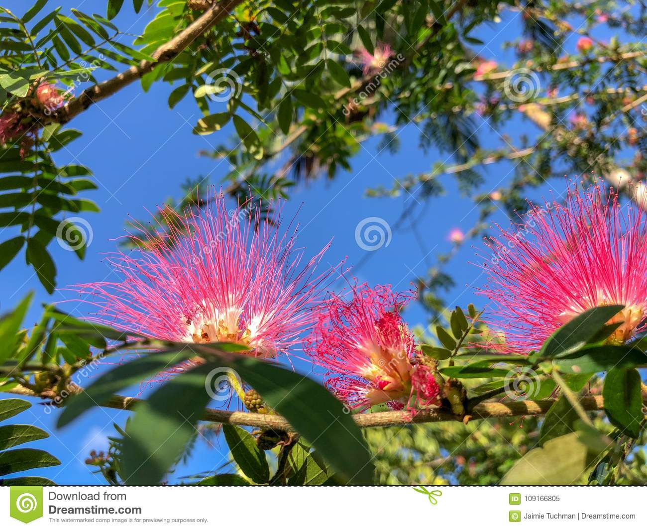 Pink Spiky Flowers Stock Image Image Of Love Fresh 109166805