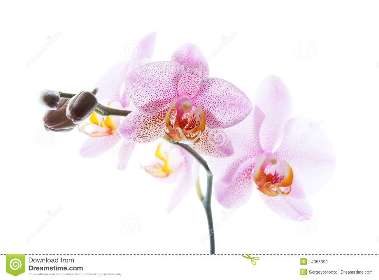 Pink spotted orchids isolated